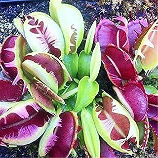 ASTONISH SEEDS: 1000 PC/paquete de semillas de la planta en maceta ivorous Dionaea del atrapamoscas de Venus Clip semillas...