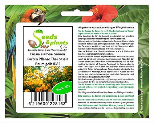 Stk - 40x Cassia siamea gelb Thai cassia Baum Garten Pflanzen - Samen ID82 - Seeds Plants Shop Samenbank Pfullingen Patrik Ipsa