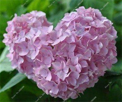 Importation Hydrangea semences de fleurs, Multi Color Four Seasons fleur de mariage Décoration jardin Blooming Plantes 20 particules/sac 10
