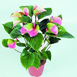 Rare Flower Seeds Pink+Green Anthurium Andraeanu Seeds Balcony Potted Flower Seeds for DIY Home Garden 120PCS