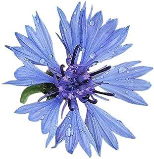 1000 Samen Blaue Kornblume -Centaurea cyanus- -Himmelblaue Blütenbracht-