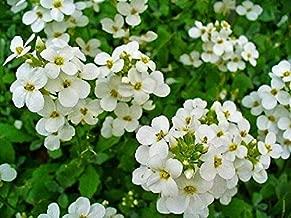 Flower Seed 800 White Alpine ROCKCRESS Aubrieta Rock Cress Arabis Alpina AB011