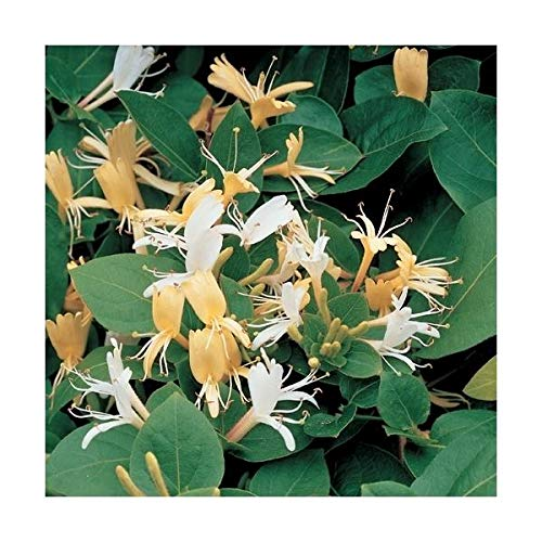 Echtes Geißblatt 60-80 cm Lonicera japonica Halliana - Jelängerjelieber