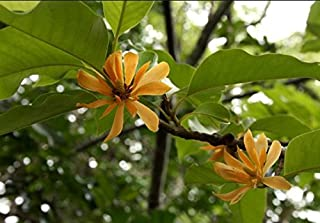 Fresh Michelia/Magnolia Champaca - Joy Perfume - Rare Tropical Plant Tree 10 Seeds