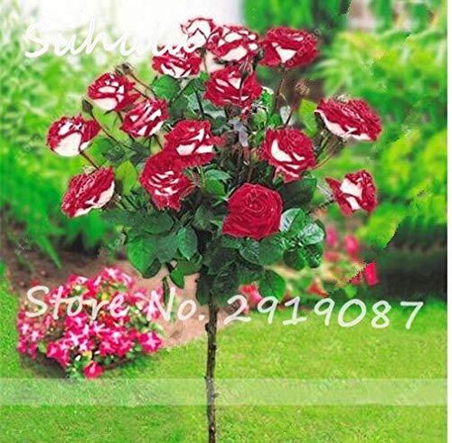 23: 100 Teile/beutel Rosenbaum Samen, Bonsai Zwerg Baum Blumensamen, Chinesische Rosenbaum Pflanze Balkon & Hof Topfpflanzen Leuchten Ihren Garten