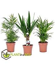 PLANT IN A BOX -Set van 3 Mini palmen kamerplanten - pot ⌀12 cm - Hoogte 30-40 cm