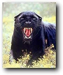 Wildlife Animal Wall Decor Art Print Picture Snarling Black Panther (Leopard) Poster (16x20)