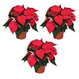 MoreLIPS® - Poinsettia - Set of Three Plants - Colour: red - Dark Green Leaves - Height 30cm - Pot Size: 13 cm - Euphorbia - Indoor Plant - Your Green Present