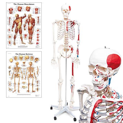 Skelett - Mike, das Budget-Muskelskelett - lebensgroßes menschliches Skelett mit bemalten Muskelansätzen & Ursprüngen