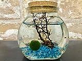 ピクシーシュリンプ【ホロホロシュリンプ】専用飼育水200ml付き 大瓶クリスタルグラスサンドBL 6匹入り+(死着補填分として予備2匹)