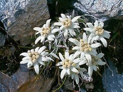 50+ Weiß Edelweiss Bodendecker Blumensamen/Perennial
