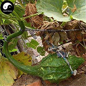 VISTARIC 100pcs Alocasia macrorrhiza Graines Taro géant Graine Jardin Elephant Plantes oreille Taro feuilles d'ornement * Racine comestible légumes Violet