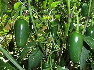 Jalapeno Hot Pepper Organic Live Plants (2 Pack)