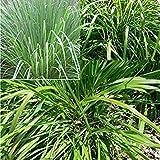Potseed 100pcs Orgánica Lemongrass Vivo Plantas Semillas de la Planta Repelente de Mosquitos