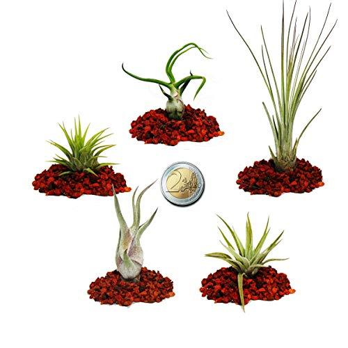 5 verschiedene Mini-Tillandsien - extra klein