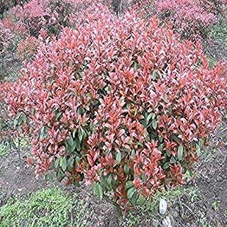 。新しい家の庭の植物10種カナメモチFraseri Frasery SerrulataレッドロビンTipluohu花の種
