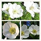 Anemone De Caen The Bride x 30 Flower Bulbs/Corms Size 3/4 Pretty White Flowers.