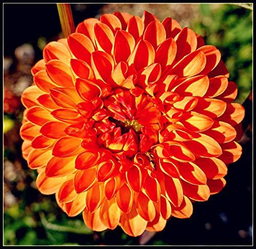 Dahlien Knollen Winterhart,Topfpflanzen,...