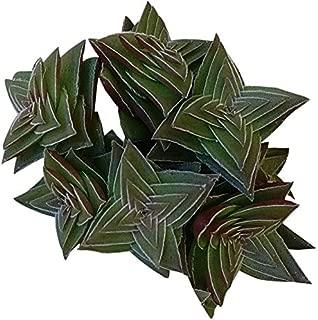Crassula Pagoda Village Crassula Capitella Shark's Tooth Crassula Crassula Species Purple Green Succulent Origami Plant Colorful Plant - 4'' Plants