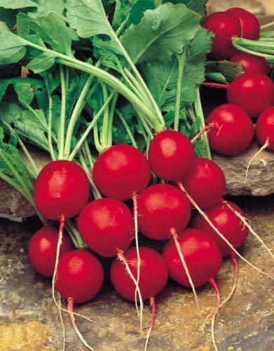 Radieschen Samen Saxa 2 Gemüsesamen