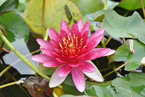 WFW wasserflora Rote Zwerg-Seerose/Nymphaea pygmaea ´Rubra´ Miniseerose im 9x9 cm Topf