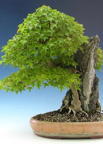 TROPICA - Arce tridente (Acer buergerianum) - 30 semillas- Bonsai