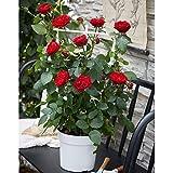 Rosa CRAZY IN LOVE RED | Fiori rossi | Cespuglio di rose rampicante in vaso | Altezza 65-75cm | Vaso Ø 15cm
