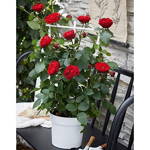 Rosa CRAZY IN LOVE RED | Fleurs rouges | Rosier grimpant en pot | Hauteur 65-75cm | Pot Ø 15cm