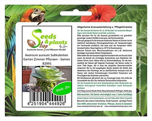 Stk - 20x Aeonium aureum Sukkulenten Garten Zimmer Pflanzen - Samen B2091 - Seeds Plants Shop Samenbank Pfullingen Patrik Ipsa