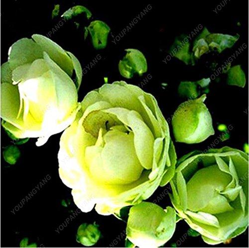 100pcs 20 sortes de graines Rose So Black Rose Charme Bonsai Graines de fleurs vivaces rares fleurs des plantes pour jardin Effacer