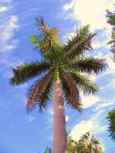 Roystonea regia, cubano ROYAL PALM palmas ornamentales árbol de la casa de semillas de plantas 15 semillas