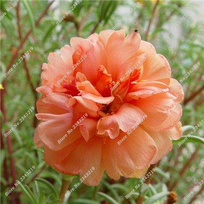 Portulaca Seed, Moss-rose Pourpier Plantes d'intérieur Fleurs doubles semences Balcon et cour Bonsai Seed en herbe Taux 95% 120 Pc 6