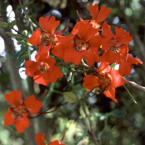 RETS Seeds: - Tropaeolum Speciosum Seeds