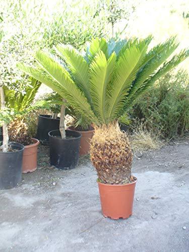 Cyca revoluta, grosse Pflanze, ca. 80-90cm hoch und breiteKrone Hingucker