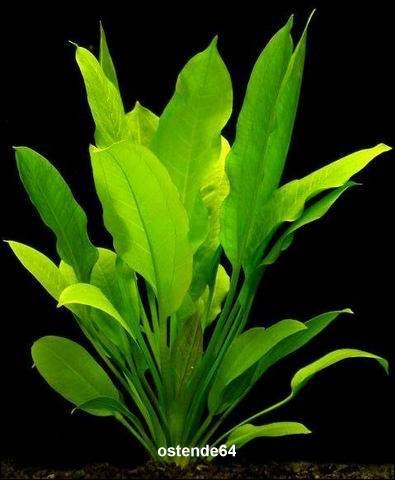 WFW wasserflora Große Amazonas-Schwertpflanze/Echinodorus bleheri im Topf, Aquariumpflanze, barschfest