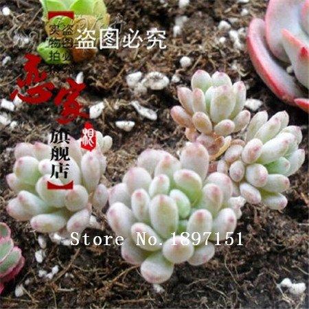 Big vente 100 rares Graines Mix Lithops Pierres vivantes Succulent Cactus Jardin bio fleurs en vrac semences