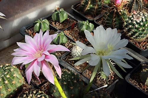 Portal Cool 50 Samen Kakteen. Echinopsis Echinopsis Subdenudata Eyriesii. Own Gewächshaus +
