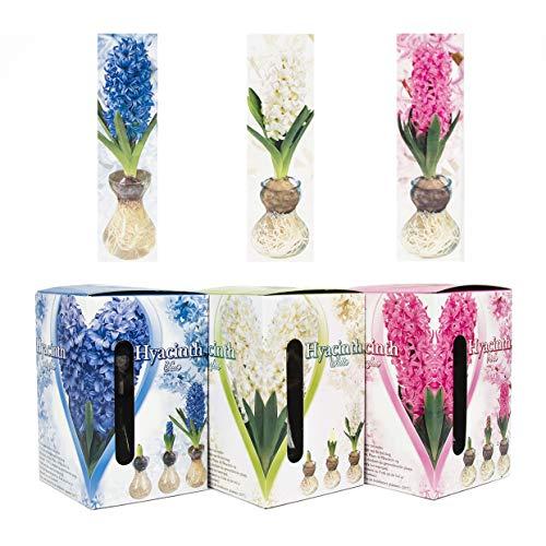 Set - Bunte Hyazinthen Blumenzwiebeln im Glas - mehrjährig und winterhart - echte Pflanzen im Glas - sehr pflegeleicht und in verschiedenen Farben erhältlich (1 MIX)