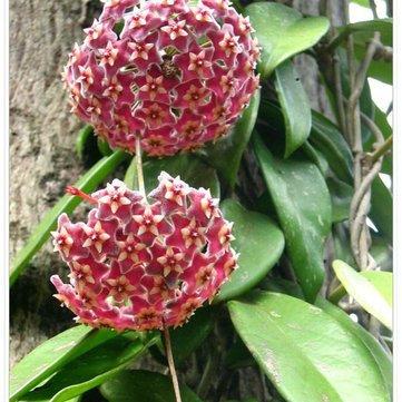 Pets Delite® Tropische Feigen Samen Mini Feigenbaum Bonsai Obst Samen Garten Indoor Topfsaatn - 100 Teile/paket