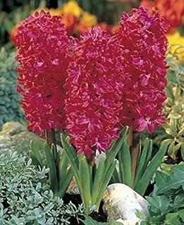 Nuevos 100pcs color mezclado bonsai jacinto de bulbos de flores, no rara beautifl flores perennes de interior para el hogar jardín s color de rosa oscuro (sólo semillas)