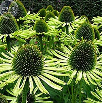 Potseed Keimfutter: Garten Grün Echinacea 'Green Jewel' Sonnenhut, 20pcs 'Samen' Fragrant