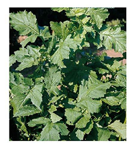 Black Mustard Seeds - Brassica nigra - Dans l'emballage d'origine - Fabriqué en Italie - C.ca