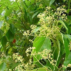 TENGGO Egrow 60 Unids/Pack Alcanfor Semillas Alcanfor Semente Planta Cinnamomum Camphora para Alcanfor Chino