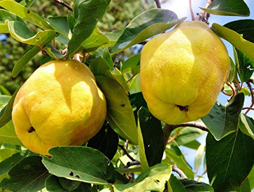 Patio Dwarf Vranja Quince Fruit Tree 3-4ft Supplied in a 5 Litre Pot