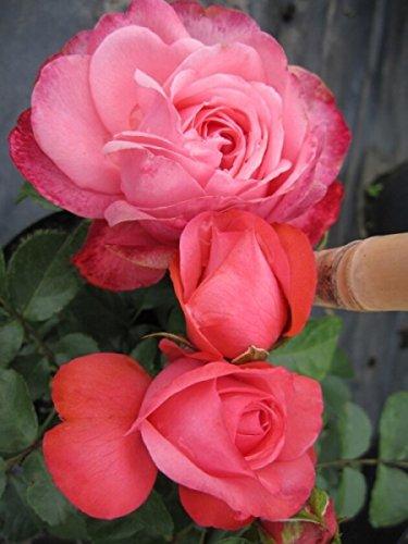 Kletterrose Rosanna® - Rosa Rosanna® - lachsrosa - Duft+ - Kordes-Rose