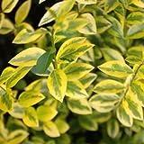 100x 60–80cm Ligustrum aureo Golden coperta di ligustro radice nuda piante trapianti