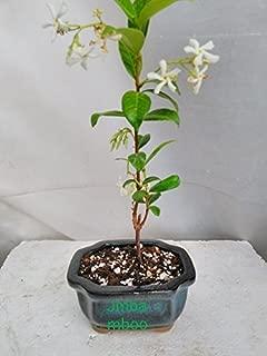 Best bonsai star jasmine Reviews