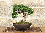 Juniper Itoigawa bonsai tree (50)