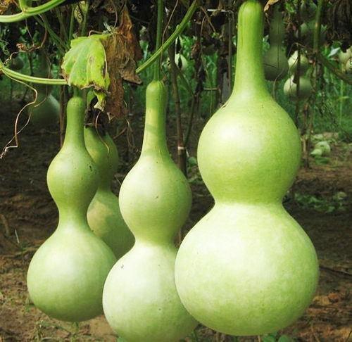 Shopmeeko Verkauf 10 Pflanzen von jedem Beutel Flasche Kürbis Pflanzen großen Wein Kürbis Löffel Lagenaria Siceraria Bonsai In Farm Funny Gemüse als Mini T: Hellgrau