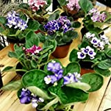 Six African Violet Plants- World's Best Blooming House Plant by Jmbamboo